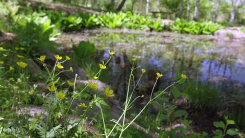 Flowers umanoshigata V1-0006 Footage