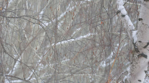 Snow falling in the branches of birch Live Action