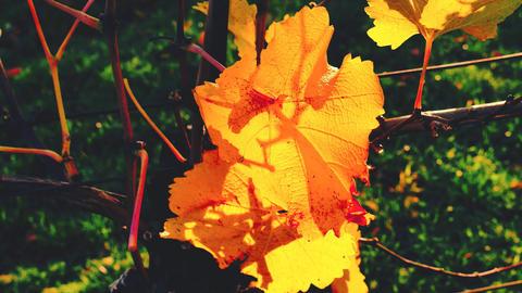 Wine grape leaves background, autumn harvest season, warm yellow sunbeam through fresh tree leaves, Live Action