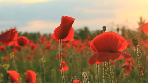 Poppies at sunset background Footage