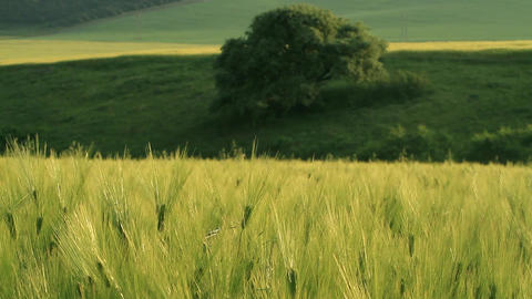 field of green wheat Filmmaterial