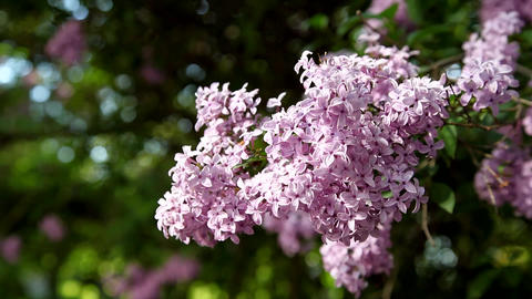 Lush branch with flowers of lilac