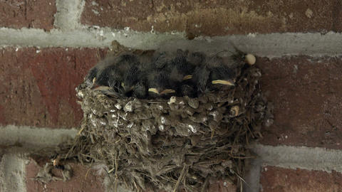 Barn Swallow baby birds in nest 4K 203 Live Action
