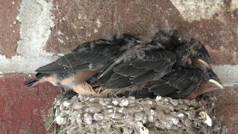 Birds Barn Swallow babies in crowded nest 4K 248 Footage