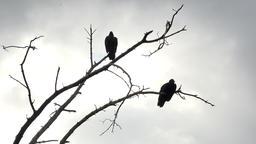 Buzzard bird Silhouette in dead tree 4K 117 Footage