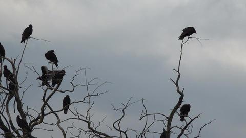 Buzzards in dead tree limbs watching dead animal 4K 119 Footage