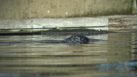 Young seal swims in a lake. Seal swims in nature. Close-Up Of sea calf. Sea Lion Live Action