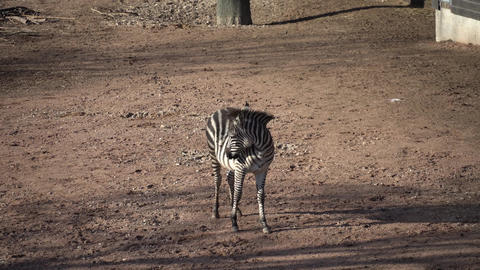 Striped black and white mammal animal zebra Live Action