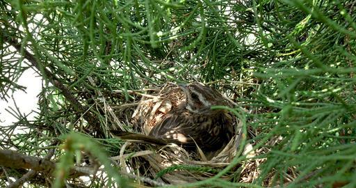鳥の巣 ホオジロ ライブ動画
