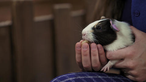 Pet eats in hands of man. Girl feeding pet Guinea pig closeup in contact zoo Live Action