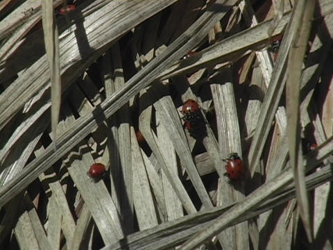 Ladybugs crawl through grass on the forest floor Stock Video Footage
