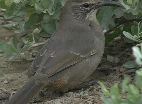A gray bird pecks at the ground and busily surveys its surroundings Footage