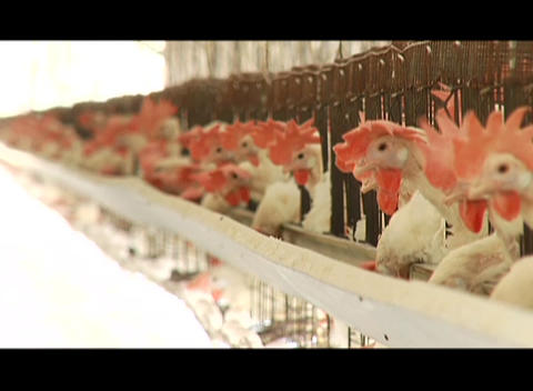 Chickens in pens in a poultry farm Stock Video Footage
