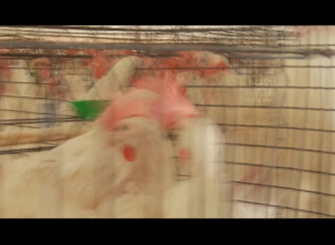 Pan across chickens in pens in a poultry farm Stock Video Footage