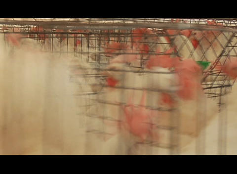 Pan across chickens in pens in a poultry farm Footage