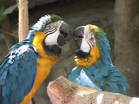 A pair of blue and yellow parrots nibble at each other's beaks Footage