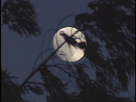 Branches wave in the wind in front of the moon Live Action