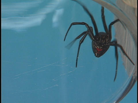 A large Black Widow spider crawls frantically across its web Stock Video Footage