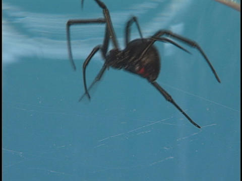 A large Black Widow spider crawls frantically across its web Footage