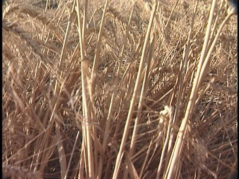 A field of golden wheat stands ready for harvest Stock Video Footage