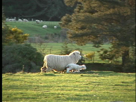 A mother sheep and her baby walk across a green pasture in New Zealand Footage
