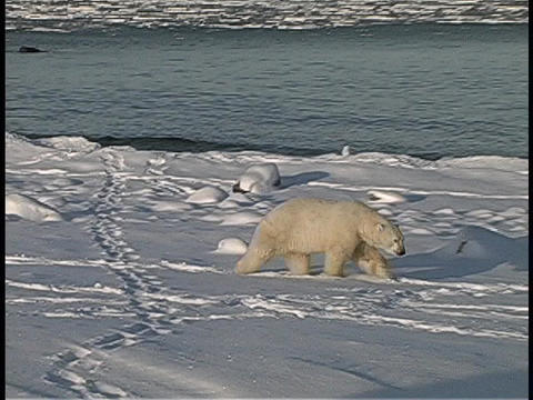 polar bears gather along an Arctic shoreline Stock Video Footage