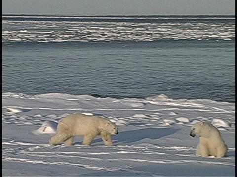 polar bears gather along an Arctic shoreline Footage