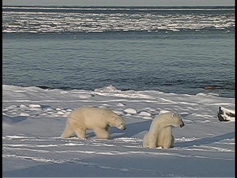 polar bears gather along an Arctic shoreline Stock Video Footage