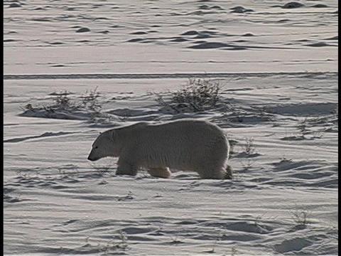A polar bear walks in the Arctic snow Stock Video Footage