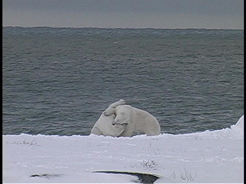 polar bears fight on a snow covered shore Stock Video Footage
