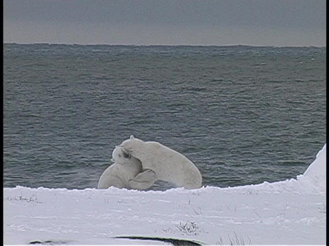 polar bears fight on a snow covered shore Footage