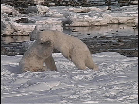 polar bears wrestle in front of open water in the Arctic wilderness Footage
