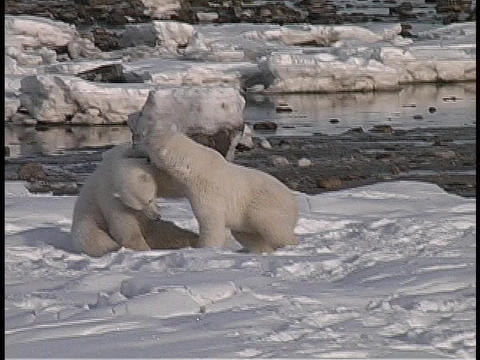 polar bears wrestle in front of open water in the Arctic... Stock Video Footage