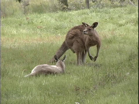 kangaroos rest and eat in a grassy field in Australia Stock Video Footage