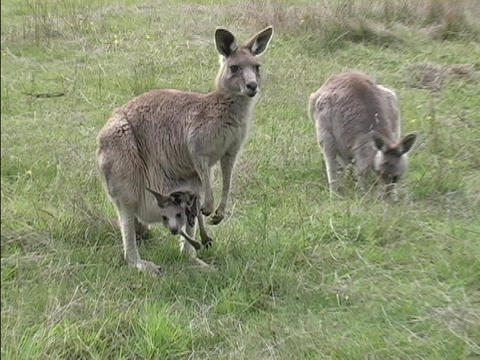 A troop of kangaroos eat grass with their babies in their... Stock Video Footage