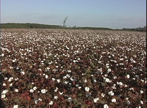 Fields of cotton bloom in South Carolina Stock Video Footage