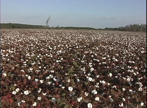 Fields of cotton bloom in South Carolina Footage