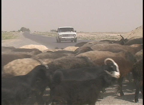 A herd of goats and a donkey cross a highway in the desert of Turkmenistan Footage