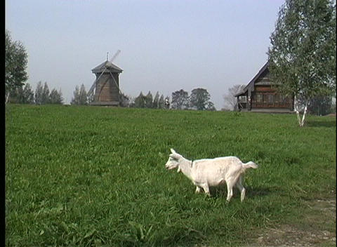 A white goat grazes near a wooden house and windmill in Russia Footage