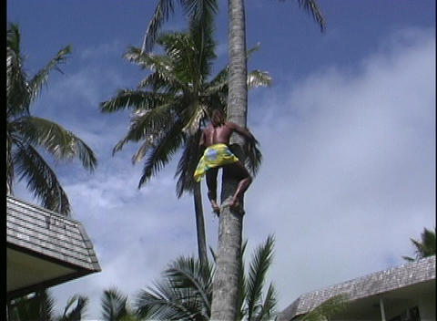 The camera follows a man as he quickly climbs a coconut... Stock Video Footage