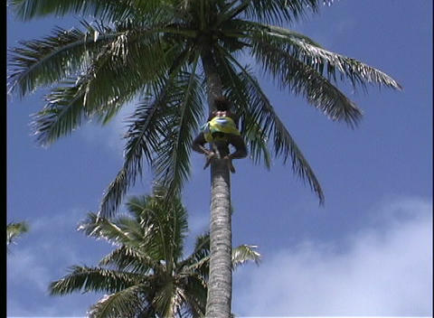 The camera follows a man as he quickly climbs a coconut palm tree to farm coconuts Footage