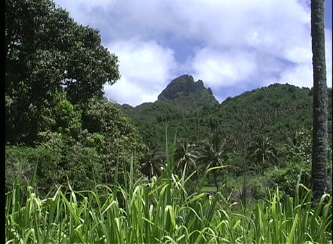 Grass moves gently with the breeze in an establishing shot on Rarotonga, one of the Cook Islands in Footage