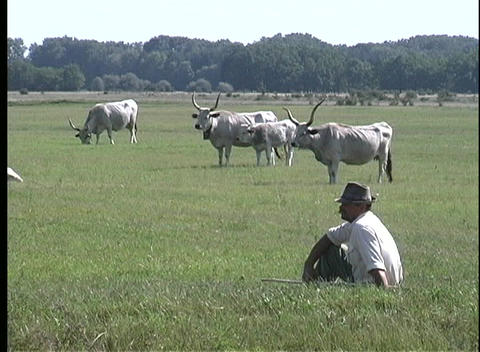 A medium shot of traditional cattle grazing in a green pasture in Pusta, Hungary Footage
