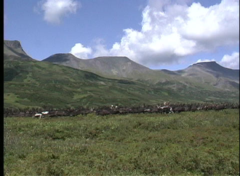 A long-shot of a run herd of reindeer in Kamachatka, Siberia Stock Video Footage