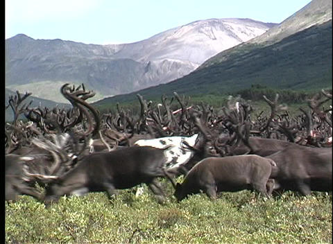 A medium shot of a herd of reindeer on a grass covered... Stock Video Footage