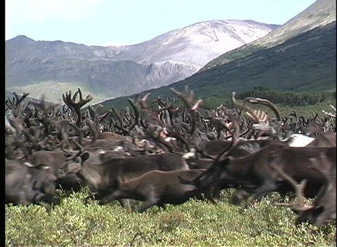 A medium shot of a herd of reindeer on a grass covered hillside in Kamchatka, Siberia Live Action