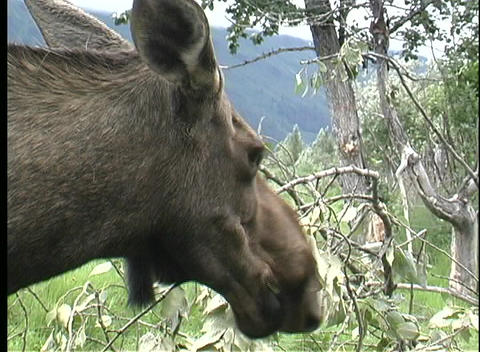 A of a moose eating leaves in Alaska Footage