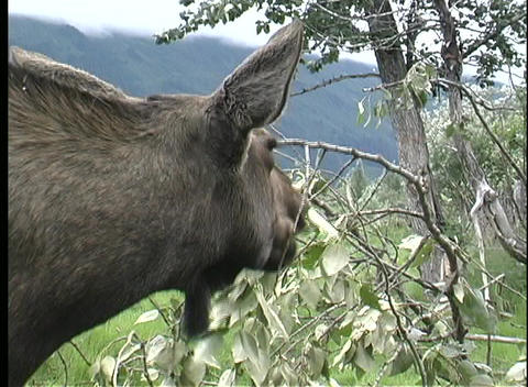 A of a moose eating leaves in Alaska Stock Video Footage