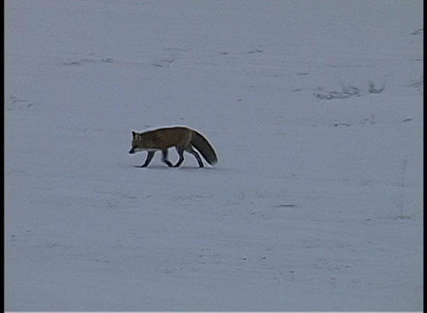 The camera tracks a lone fox as it walks along the snow... Stock Video Footage