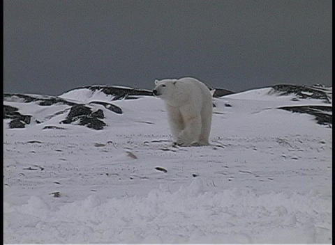polar bears walk near a snow-covered shoreline in... Stock Video Footage